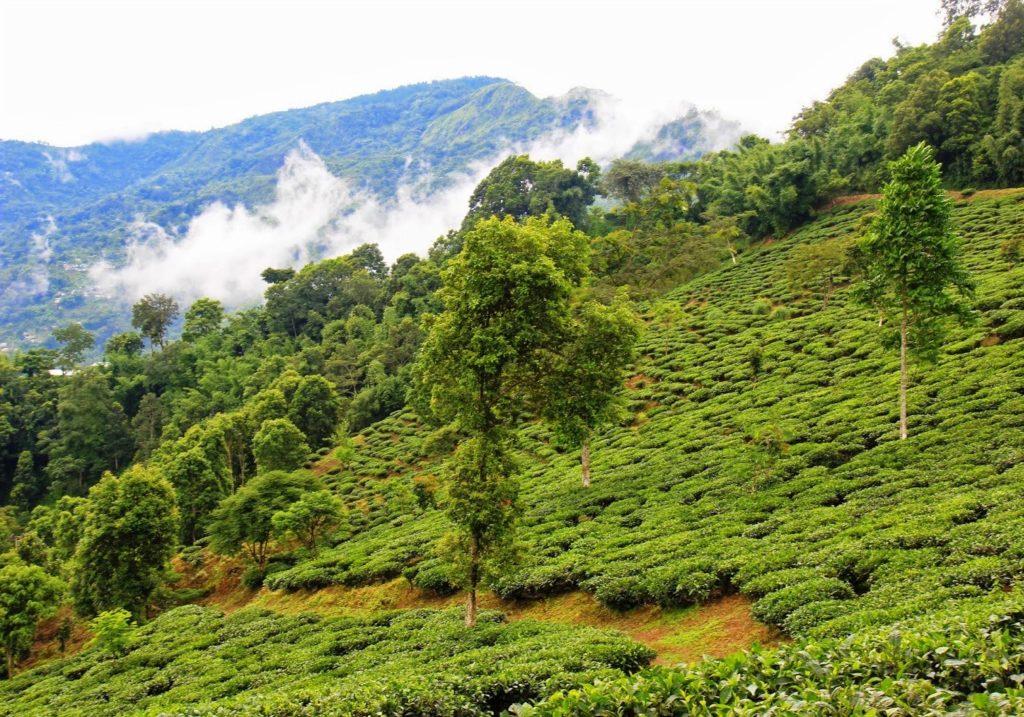 чай плантации