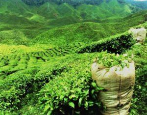 плантации дарджилинга
