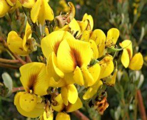 Цветок циклопии